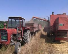 Rod pšenice procenjen na oko 16 dinara po kilogramu bez PDV-a