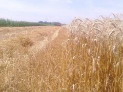 Žetva pšenice se privodi kraju