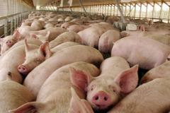 Rast cene tovljenika uslovio i poskupljenja u mesarama