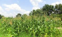 Rodna godina obećava visoke prinose kukuruza