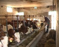 Uspešno sprovedena vakcinacija goveda u opštini Bogatić