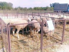Osma Izložba goveda simentalske rase i ovaca virtemberg