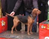 Srpski gonič- Najlepši pas IV Međunarodne izložbe pasa 2015.