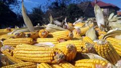 Berba kukuruza u Mačvi