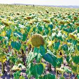 Trenutno stanje poljoprivrednih useva u opštini Bogatić