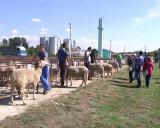 VII Izložba goveda simentalske rase i ovaca