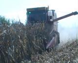Suša desetkovala rod kukuruza